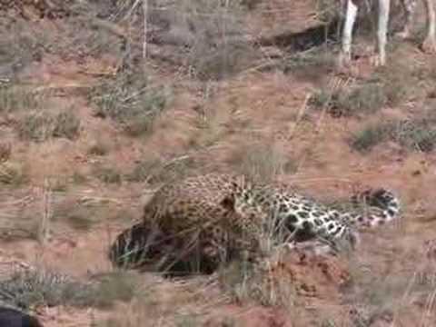 Leopard lov