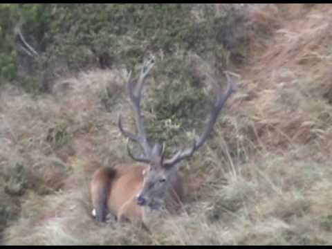 krásný jelen