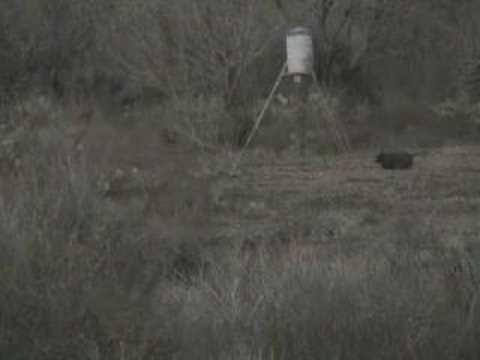 Americká prasata – lov