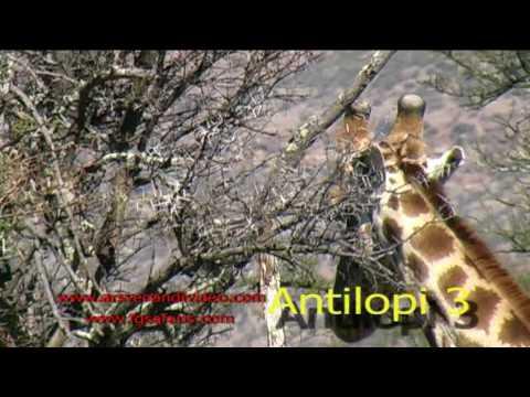 Africké video II