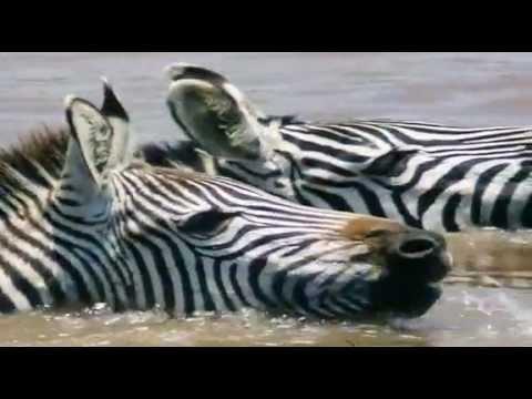 Zebra vs. krokodýl