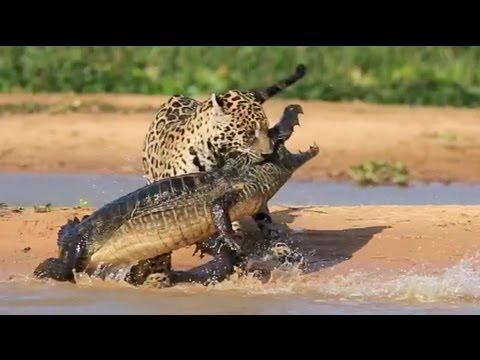 neuvěřitelné video – jaguár vs. krokodýl