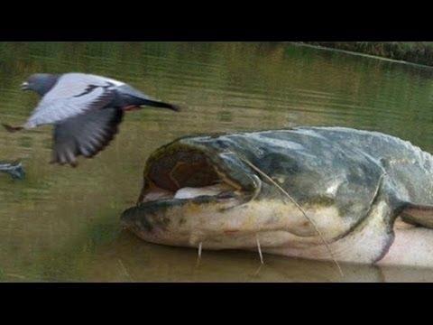 sumci loví holuby