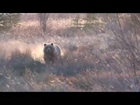 lov medvěda KODIAK