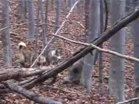 lov prasat v BULHARSKU