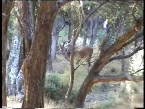 New Zealand – lov jelena III