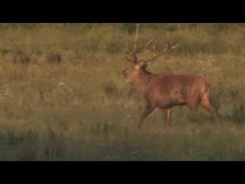 Lov jelena v říji