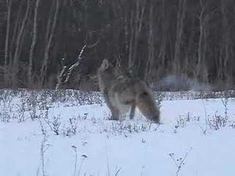 kojot lov II