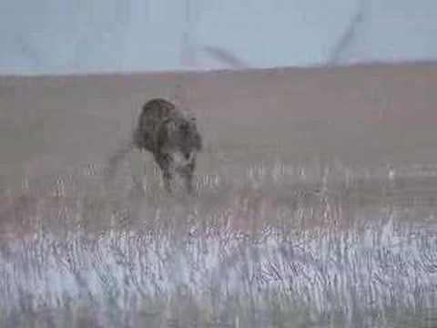 kojot lov