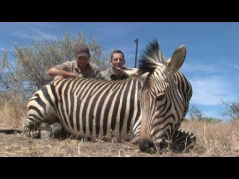 Lov zebry Afrika