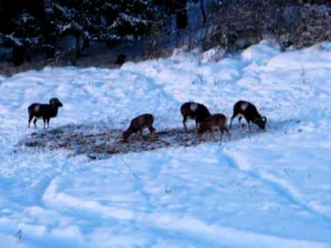 Lov mufloní zvěře