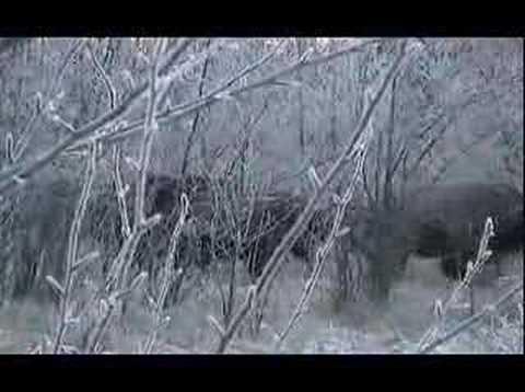 Lov bizona lukem II