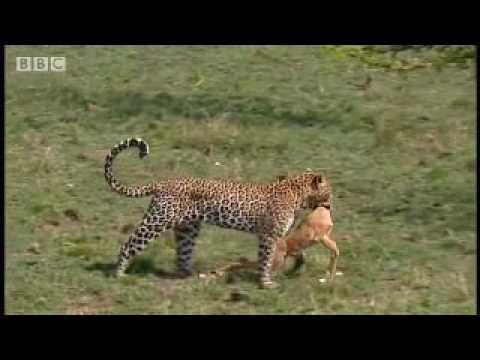 Leopards vs zebra