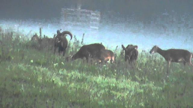 Lov a dosled muflona s Goby-Chekky Korym Bohemia