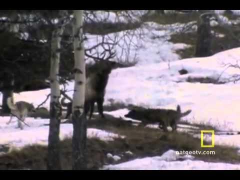 Lov vlka