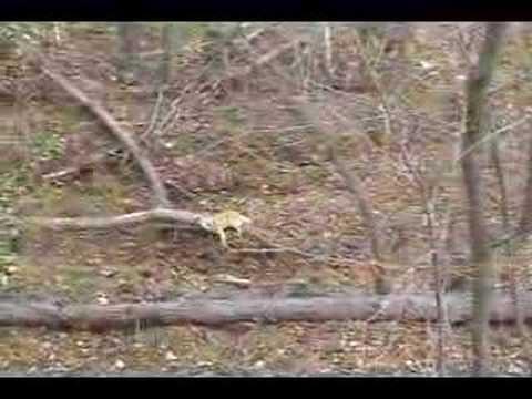 Lov kojota lukem