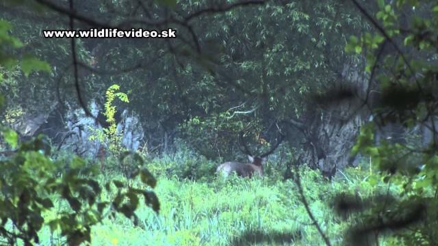 Lov silného jeleňa v lužnom lese