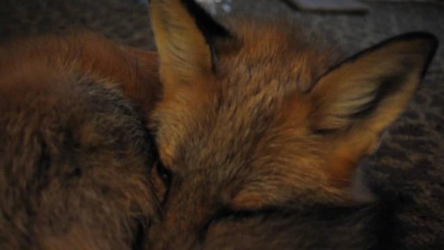 """Vixey """"liška domácí"""""""