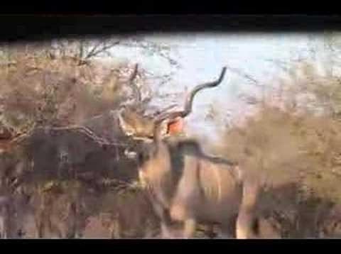 Lov KUDU v Africe