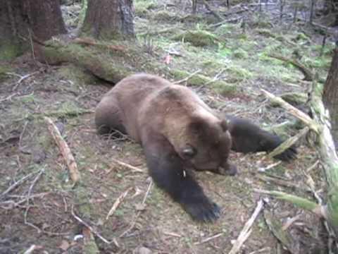 Lov medvěda lukem II