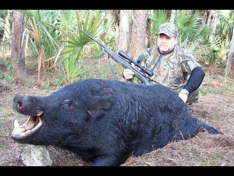 Jak se loví prasata v USA