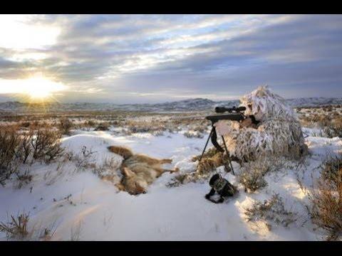 Lov kojota USA
