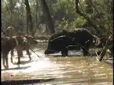 lovečtí psi útočí na prasata