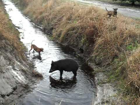 lovecký psi útočí na prasata III