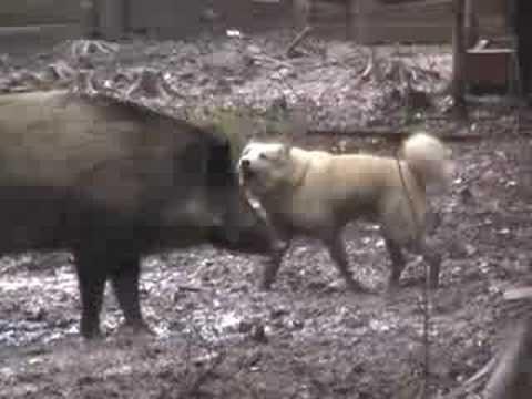 lovecký psi vs prasata