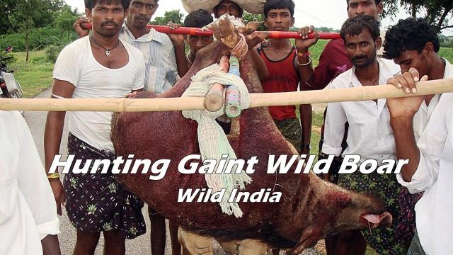 Lov divočáka v Indii
