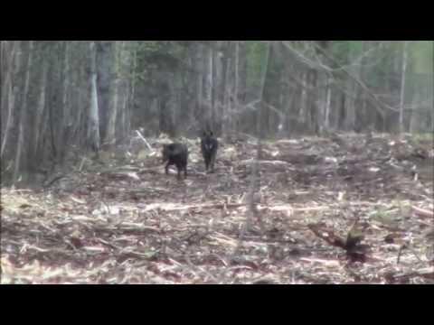 Lov vlka v Kanadě