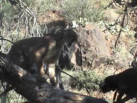 Puma a psi v akci
