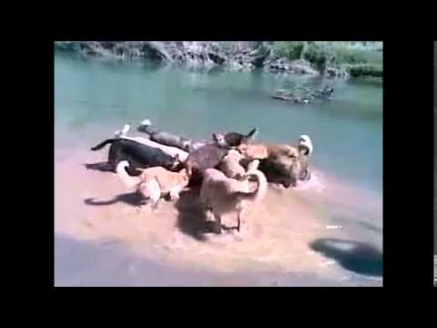 Psi napadli prase
