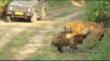 Tygr a divoké prase