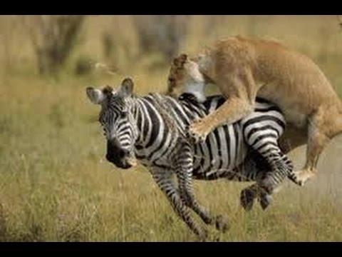 Lev loví zebru