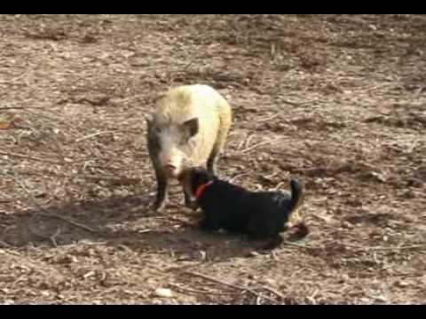 Prasata a psi v akci