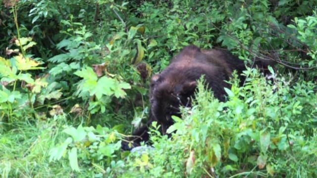Lov medvěda Grizzlyho