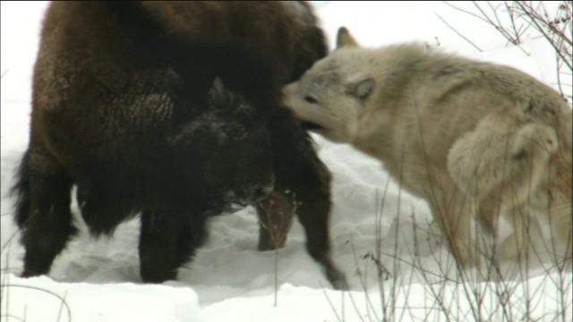 Vlci loví bůvoly