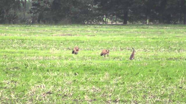 Liška loví zajíce