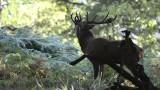 Souboj jelenů říjen 2014