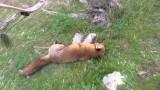 Lov lišky lukem