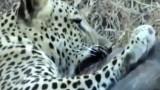 Leopardí útok na prase