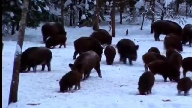 Lov prasat na sněhu