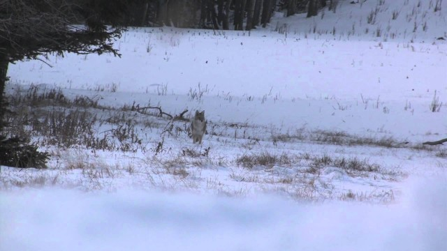 coytoe hunting