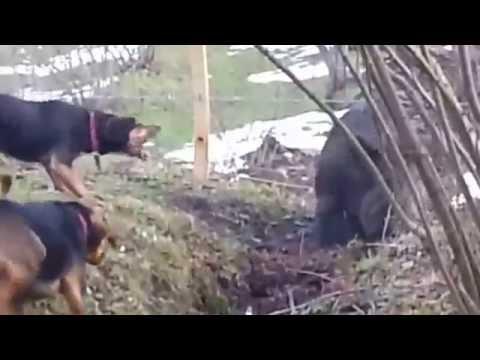 Lov prasete – psi v akci