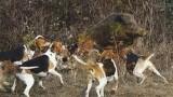 psi v akci – útok na prase