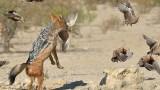 Lovecký pes v akci