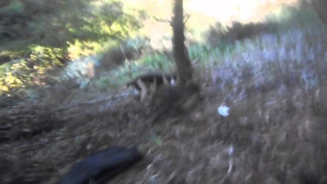 Útok psa na divoké prase