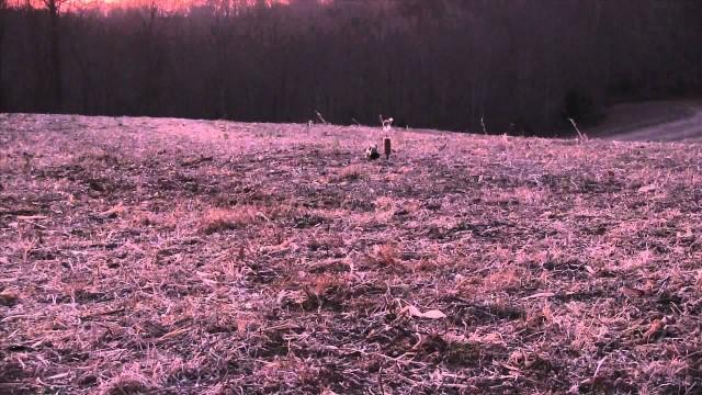 Lov kojota