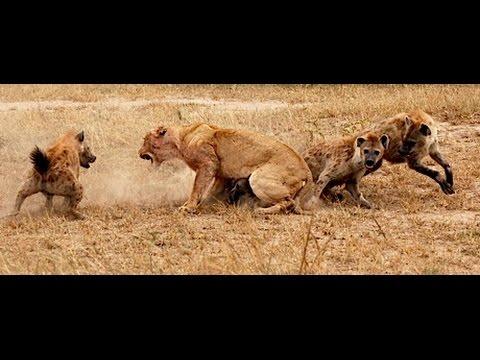 Lev a hyena